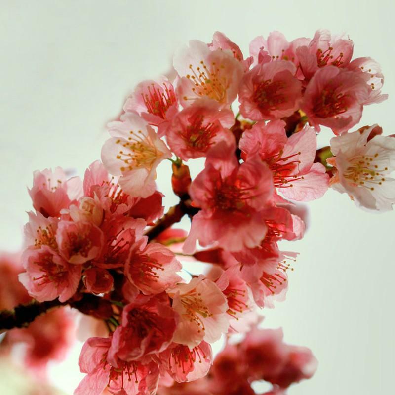 2021・03・14 Sun. 今年の桜 (神奈川・川崎某所)