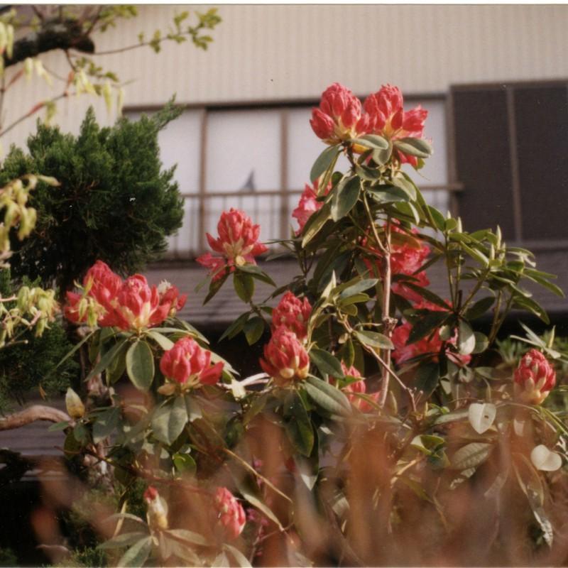 莟の石楠花