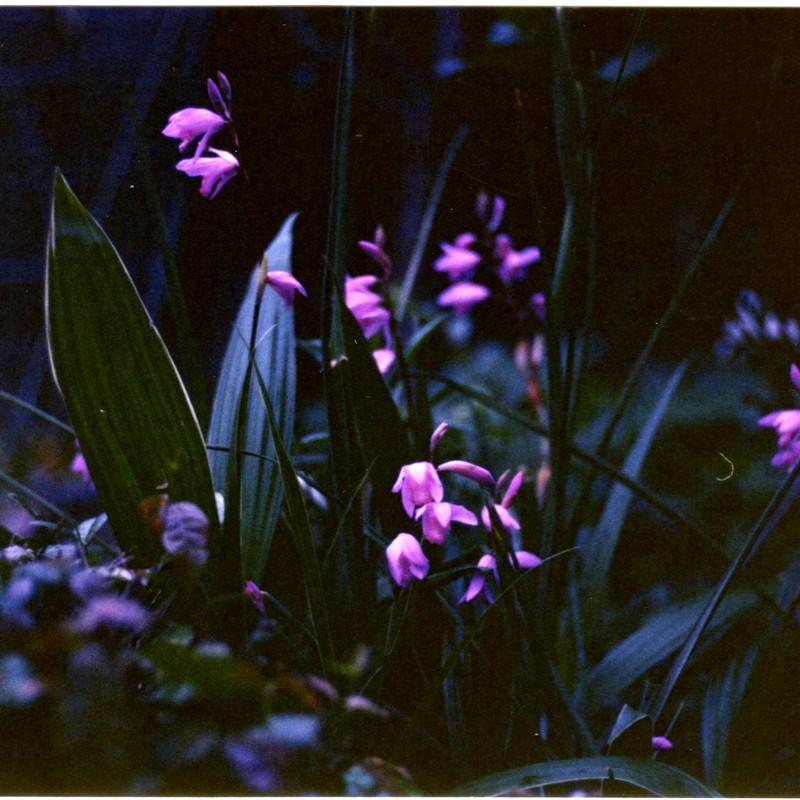 紫蘭の咲く夕べ