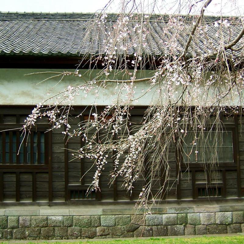 皇居の桜(テスト投稿)