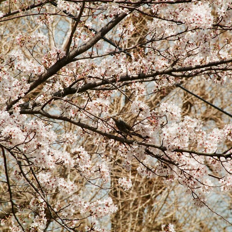 桜とヒヨドリ(多分)