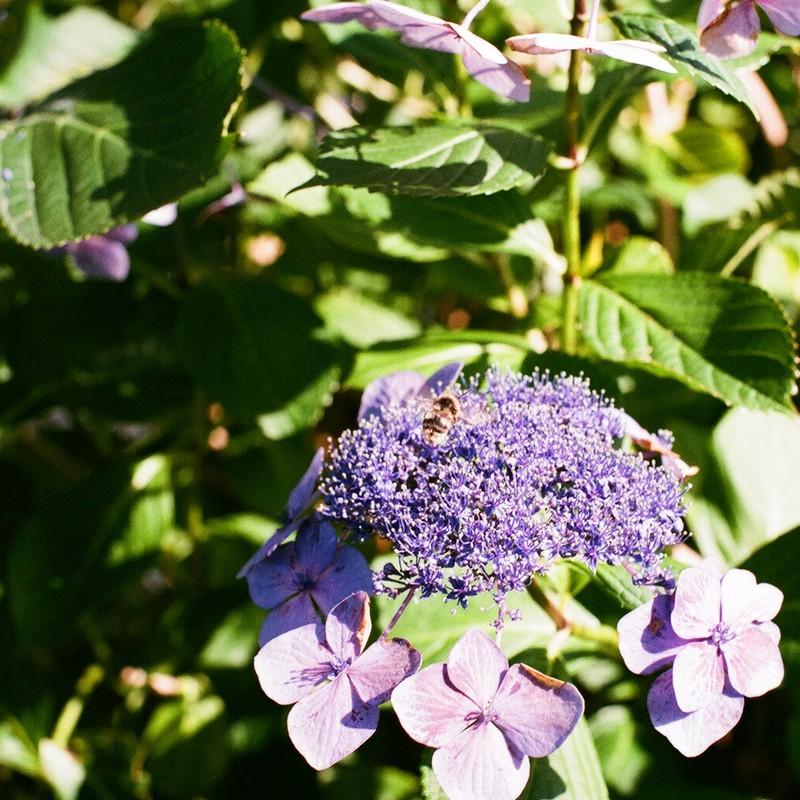 枯れてない紫陽花