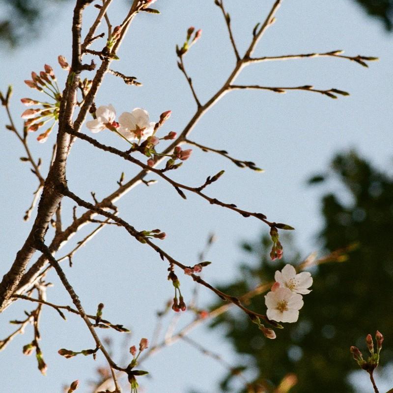 桜の花もまた矢の如し