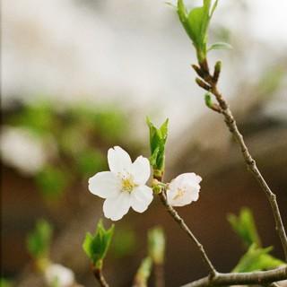 もはや葉桜
