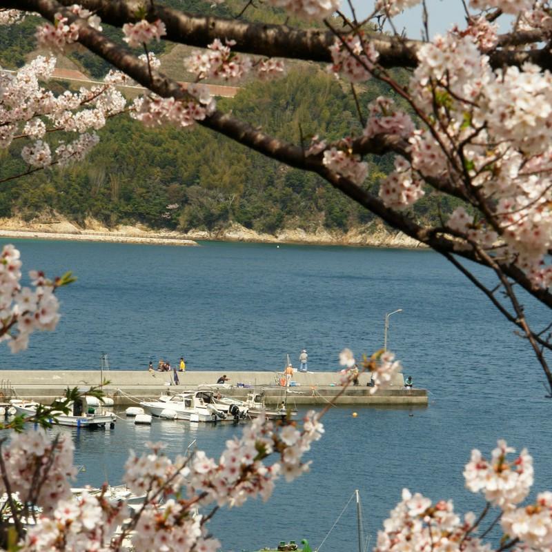 漁 -桜の額にてー