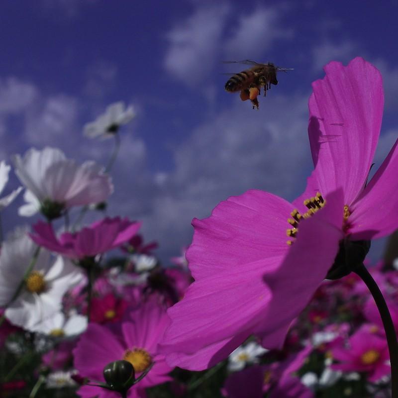 コスモスとミツバチ。
