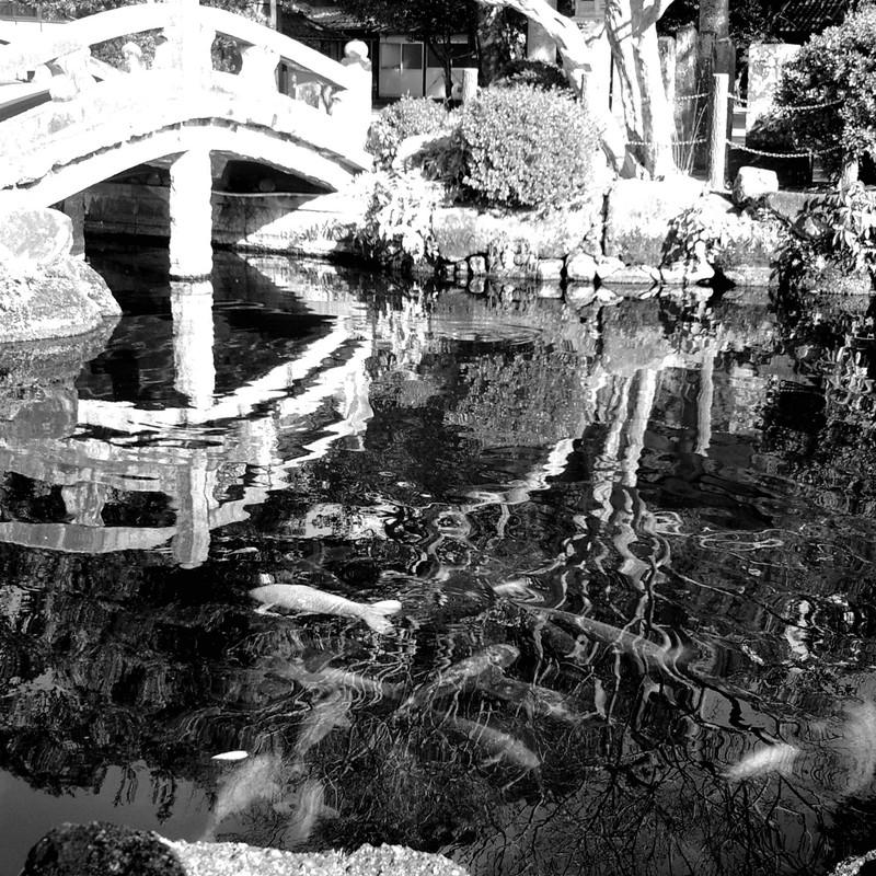 池のコイ。