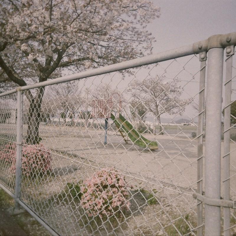 桜のころ。