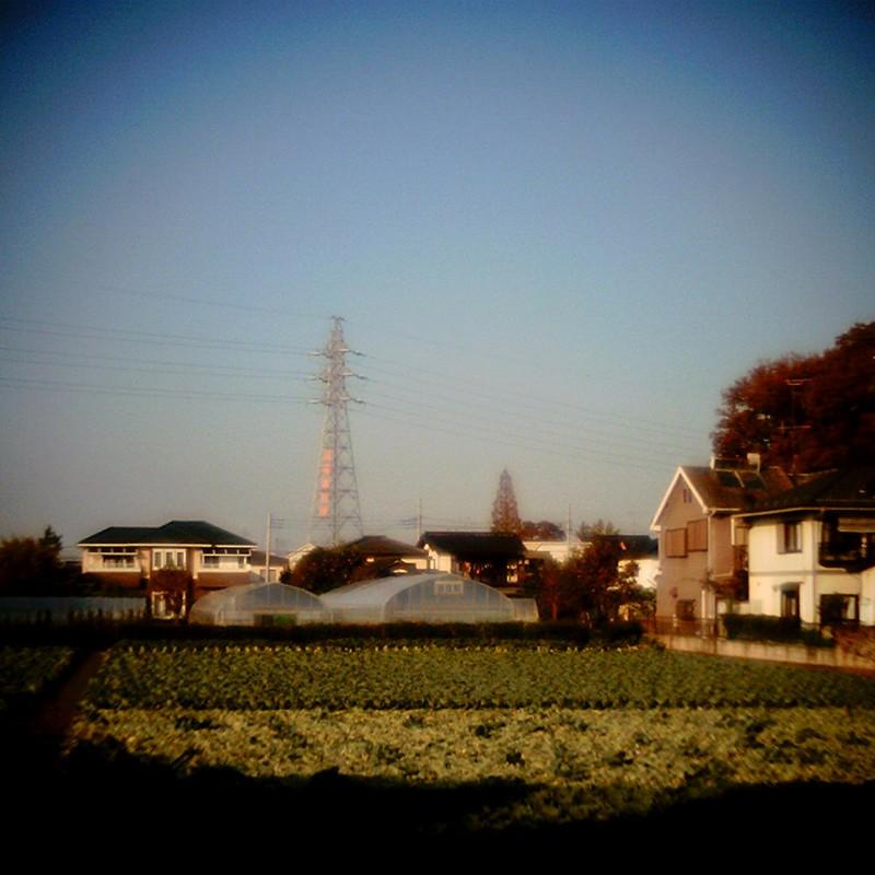 キャベツ畑。