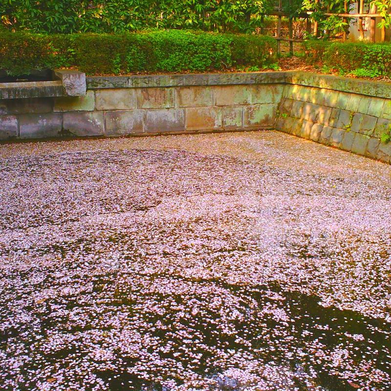桜溜まり。