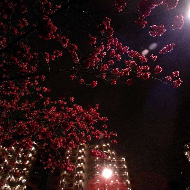 夜に咲く。
