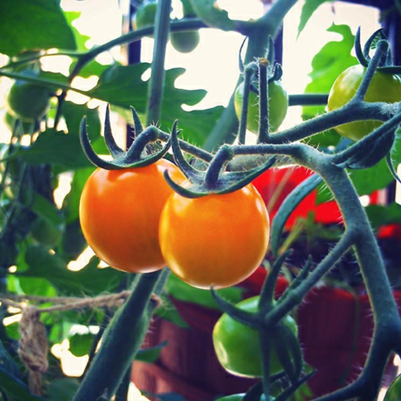每天都在拍這番茄