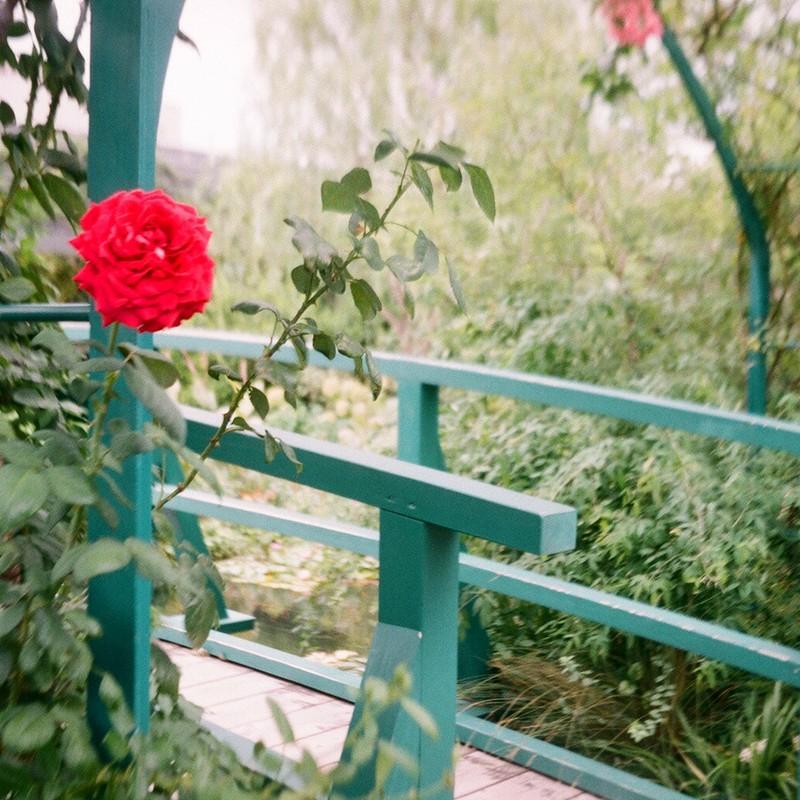 春薔薇の名残