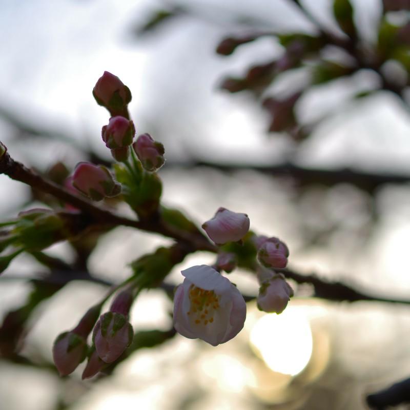 1分咲き。