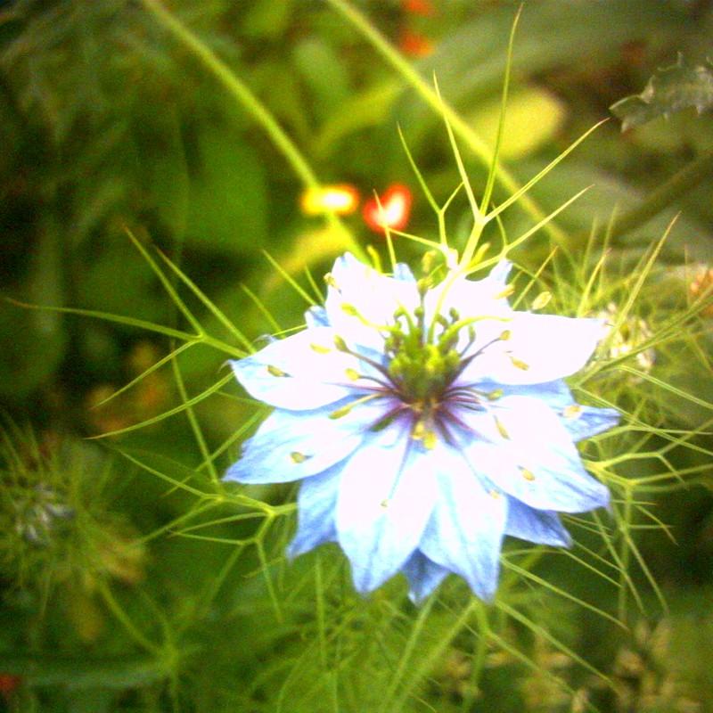 光なし青い花