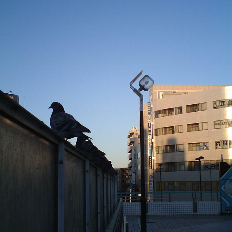 いつもの駅で、鳩はとハト