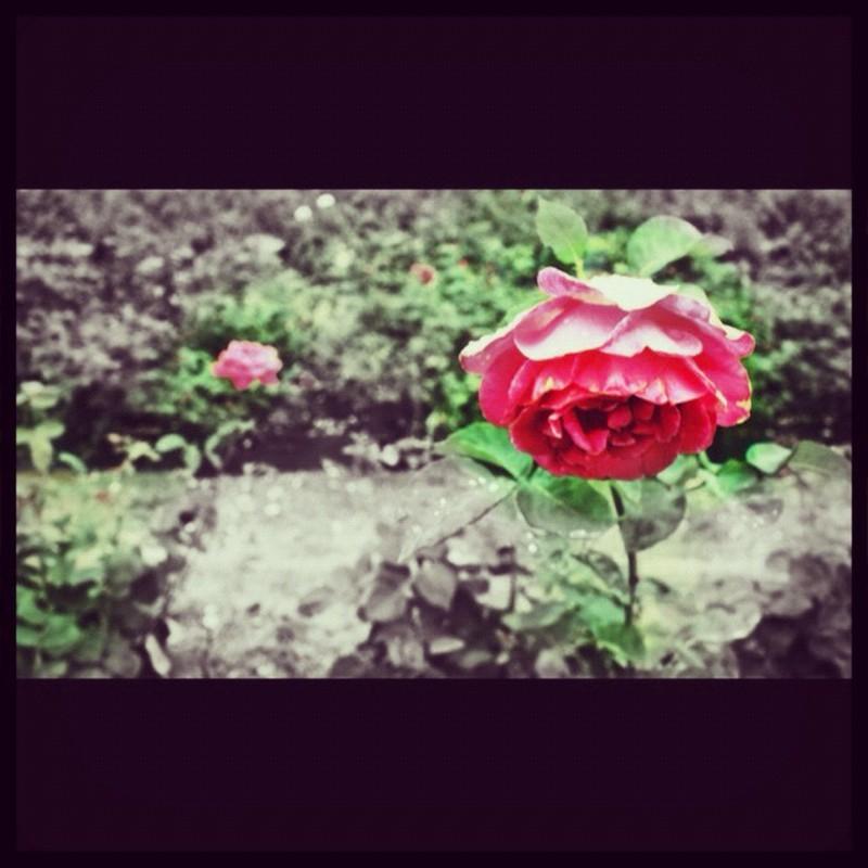 静寂さの中にバラ色を。
