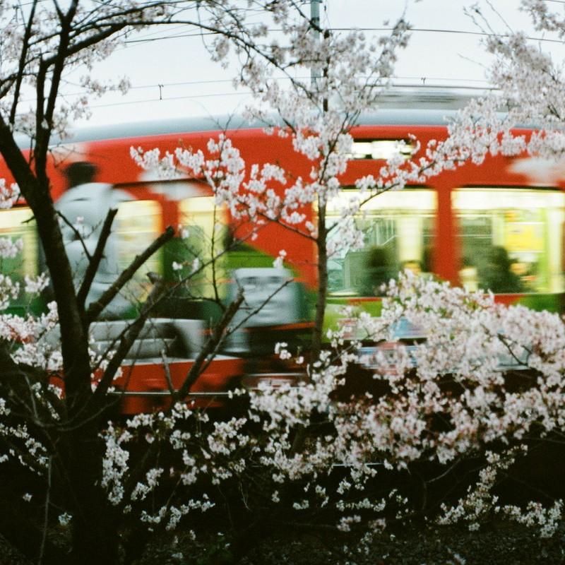 トーマスと桜