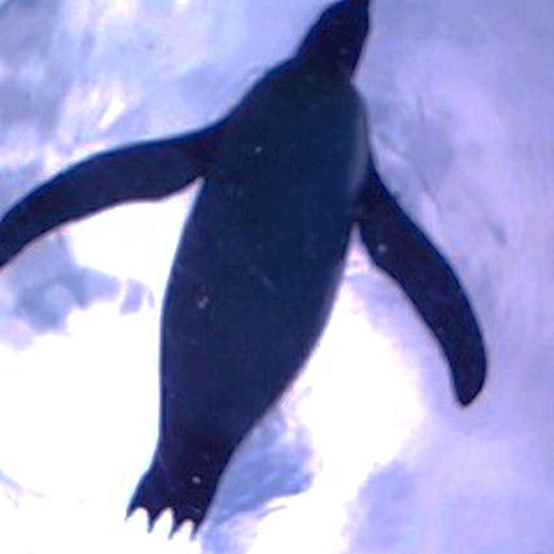 ペンギンの泳影
