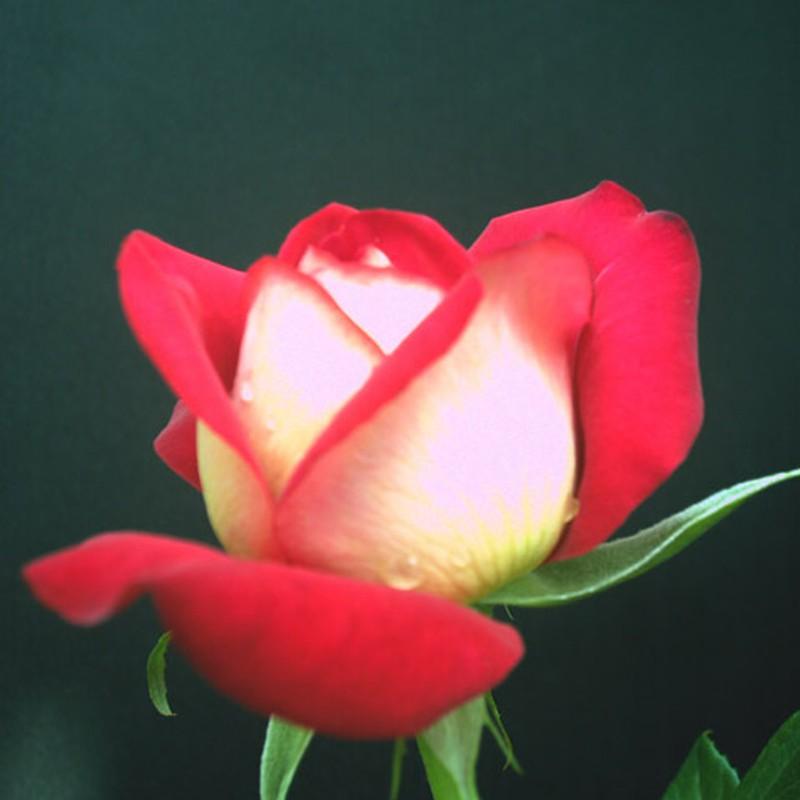 秘密の花2
