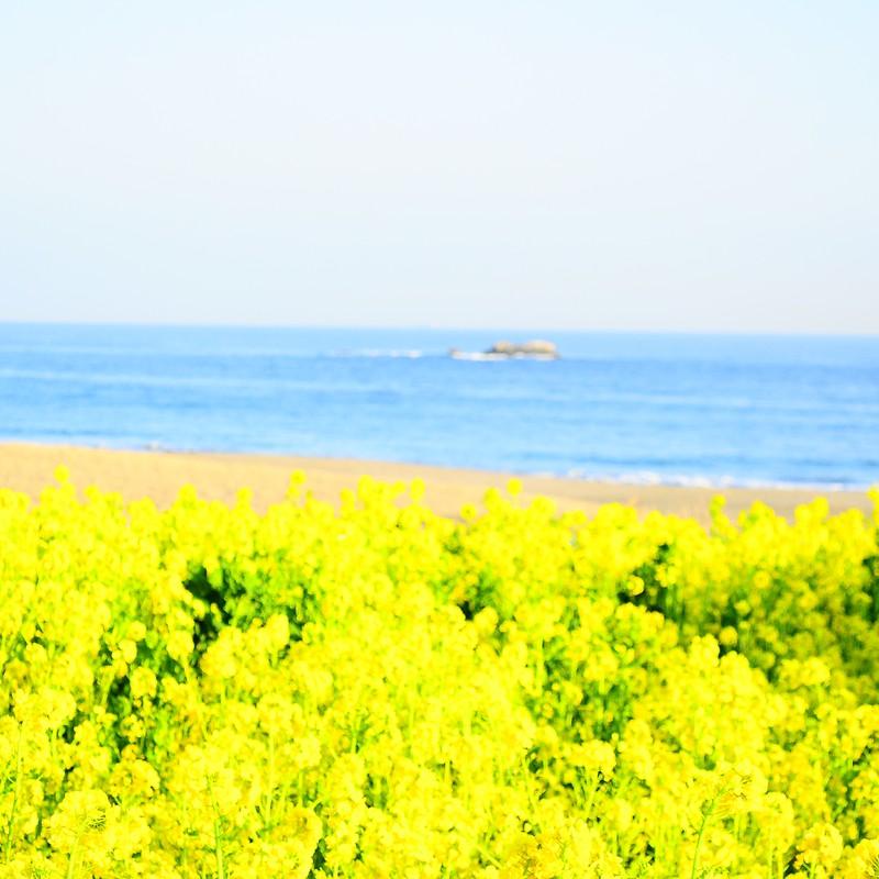 菜の花と海。