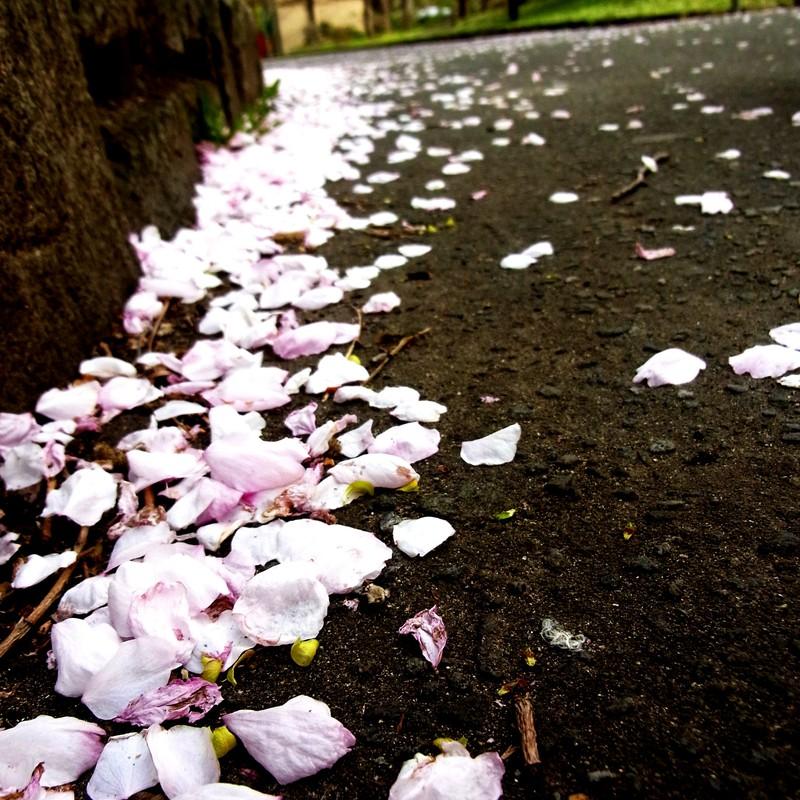 桜の帰り道