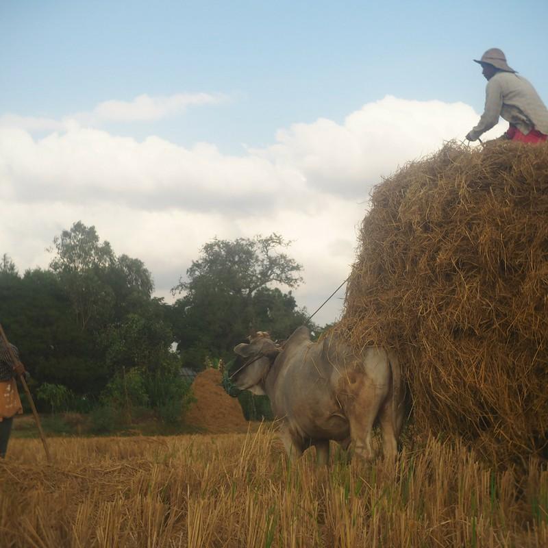 アジア 村 収穫