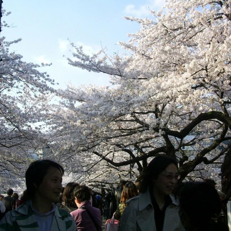 北の丸公園の桜