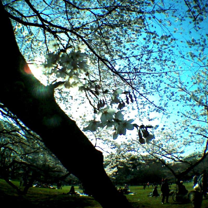 7分咲き桜