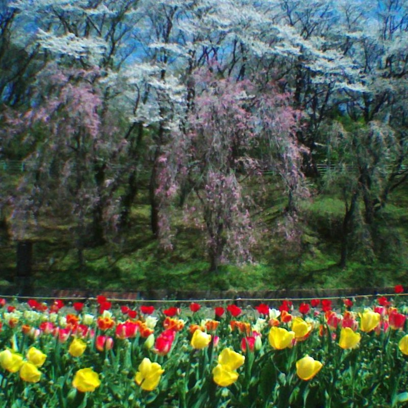 しだれ桜とチューリップ