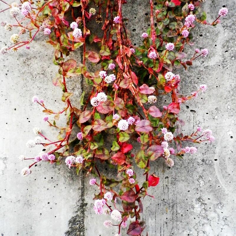 ピンクの花の咲く蔦