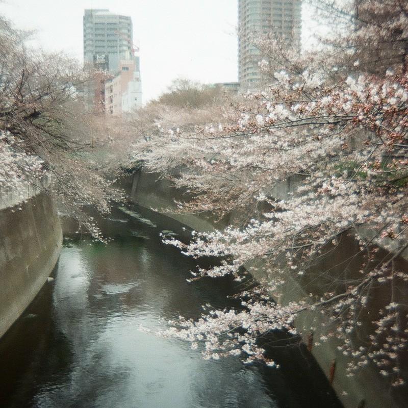 2011年、桜@神田川の面影橋