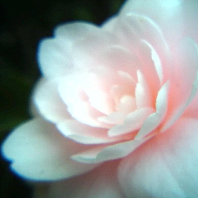 乙女椿千重咲き