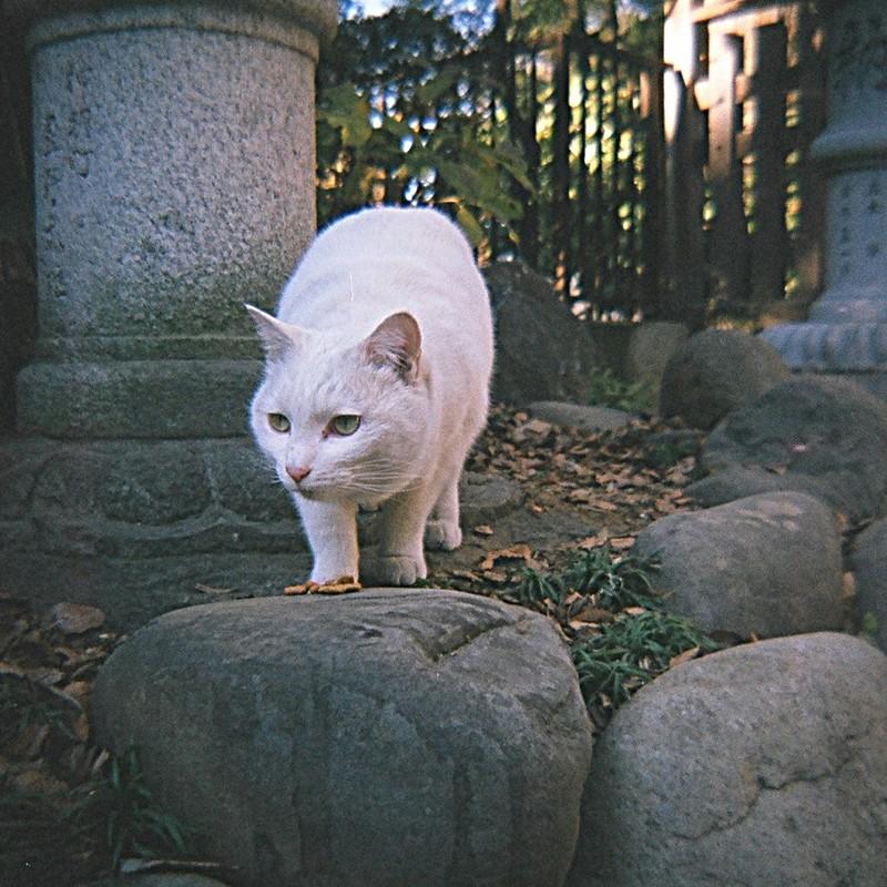 神社の白猫さん、見つめる視線の先は