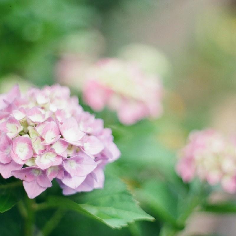 お庭のアジサイ*