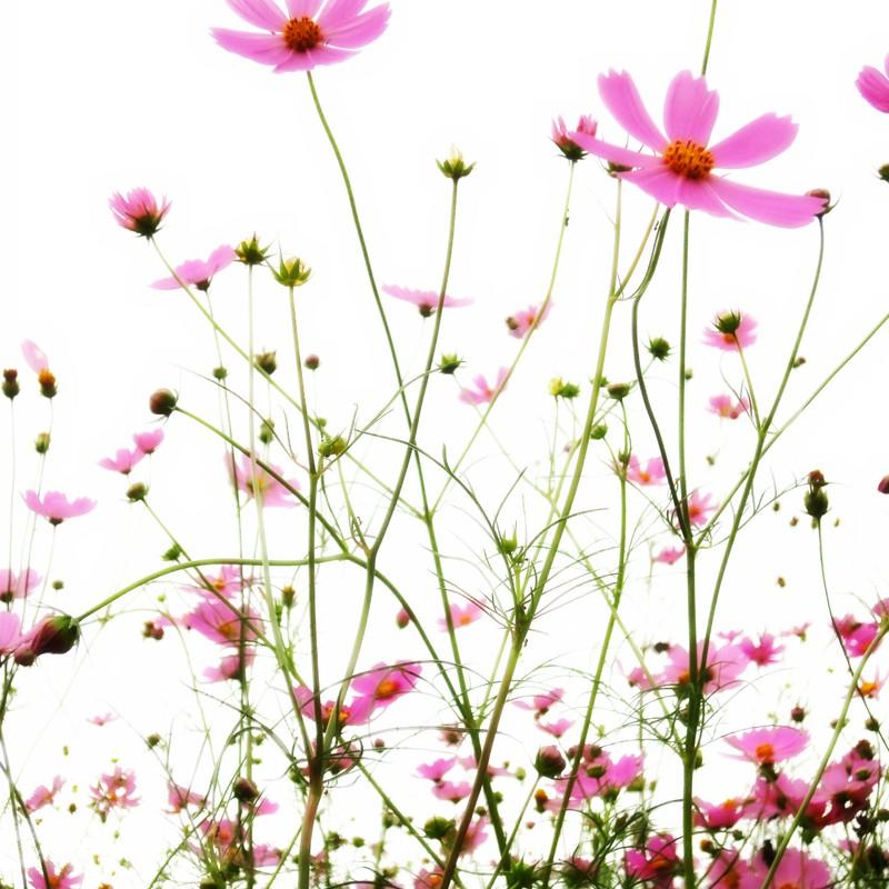 秋桜 #1