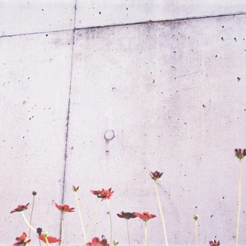 壁に咲くコスモス