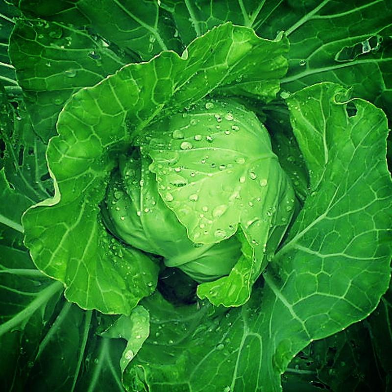 Lush cabbage