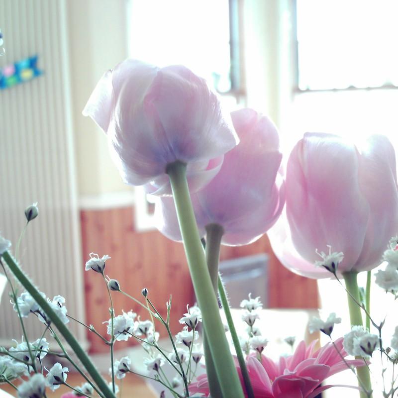 Tulip had a pale color