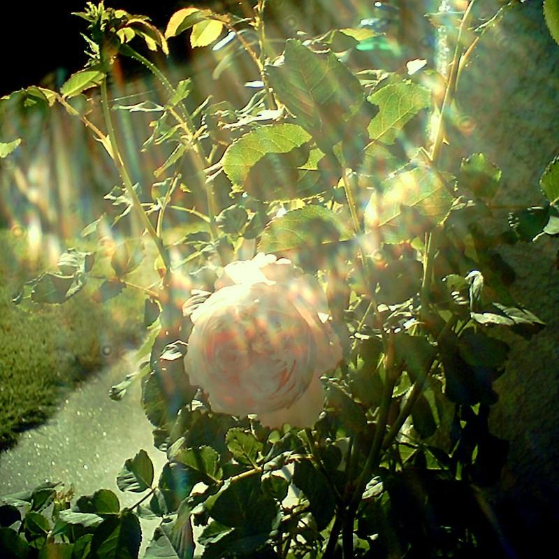 午後のバラ