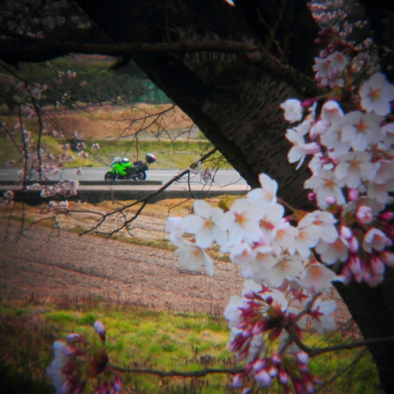天理の大桜