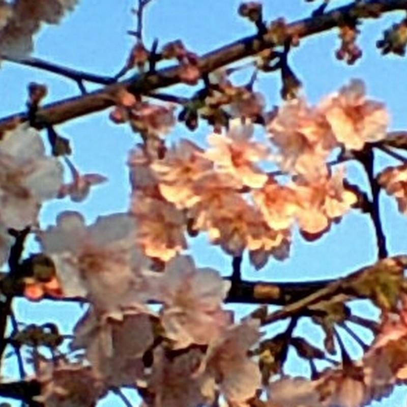 夕日色の桜