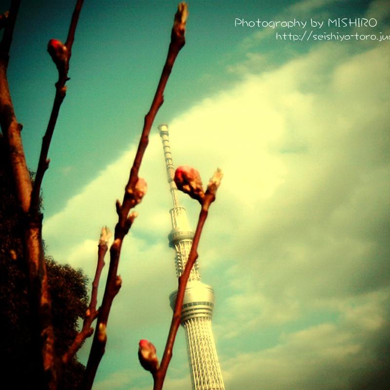 スカイツリーと春の蕾