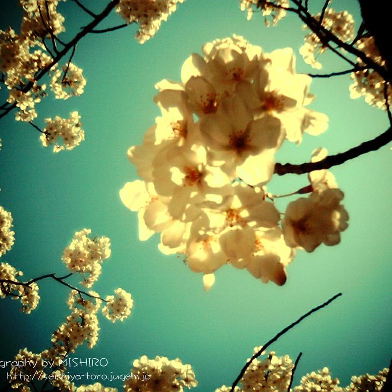 光に透ける桜