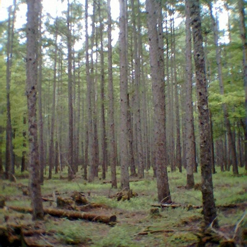 白樺の森。