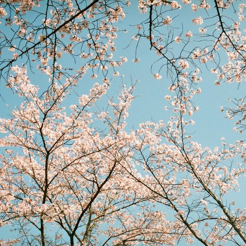 桜 咲く 青空