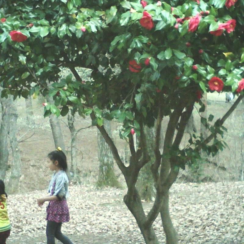 大きな椿の木下で ヾ(●´ω`●)ノ