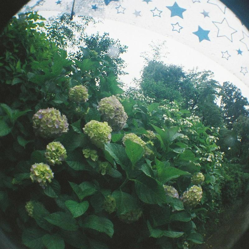 キラキラと紫陽花