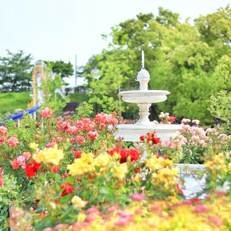 となり町のバラ公園。