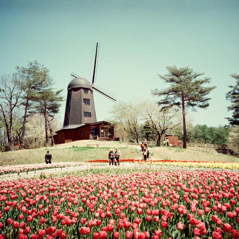 風車×チューリップ